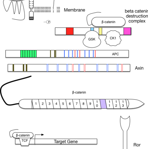Wnt signal transduction components
